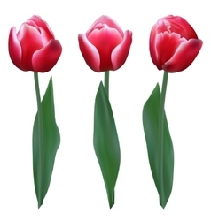 Three red tulips vector image