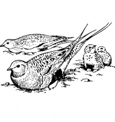 bird syrrhaptes paradoxus vector image