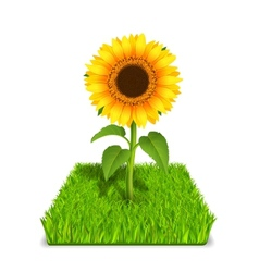 sunflower in the green grass vector image