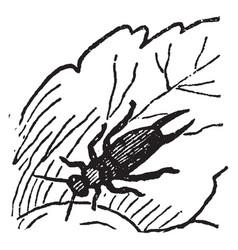 Earwig larva vintage vector