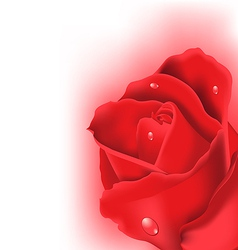 Red rose for design your celebration card vector image