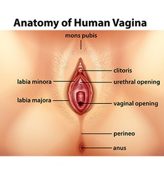 Diagram showing anatomy of human vagina vector
