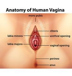 Diagram showing anatomy of human vagina vector