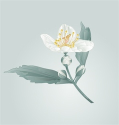 Spring flower twig jasmine flower and buds vector