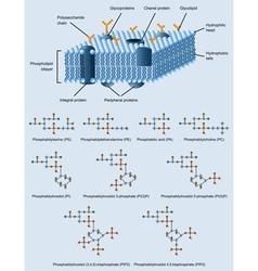 Membrane structure vector