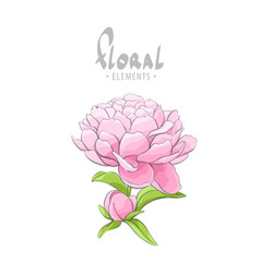 Delicate peony on a white background vector