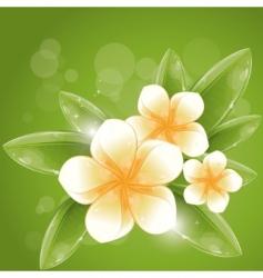 white frangipani flowers vector image