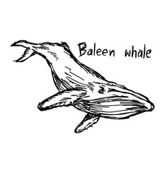 baleen whale - sketch hand drawn vector image vector image