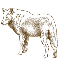 engraving drawing of wolf vector image