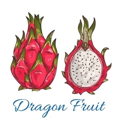 Exotic tropical dragon fruit or pitaya sketch vector image