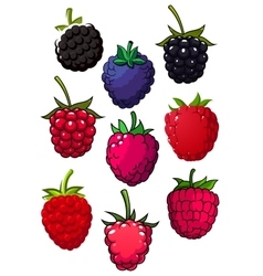 Red raspberry and blackberry fruits vector image