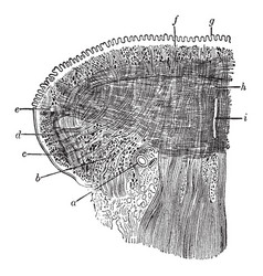 Coronal section of the tongue vintage vector