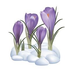 Crocuses flowers on a snow vector