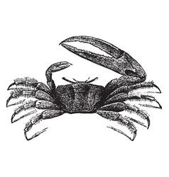 Fiddler crab vintage vector
