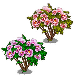 Two plants of purple and pink bushes of peonies vector