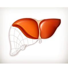Liver structure vector image