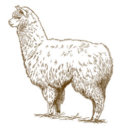 Engraving drawing of fluffy llama vector