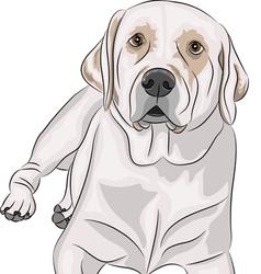 labrador b vector image