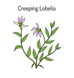 Lobelia chinensis medicinal plant vector