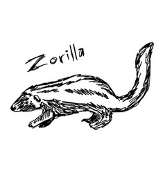 Zorilla - sketch hand drawn with vector