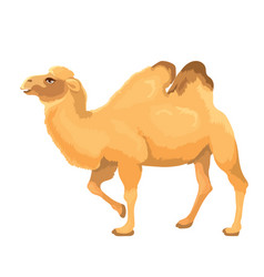 Camel isolated vector