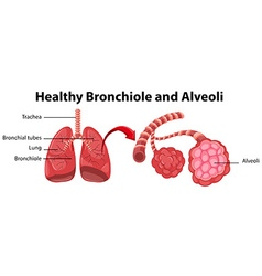 Diagram showing healthy bronchiole and alveoli vector