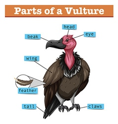 Diagram showing parts of vulture vector