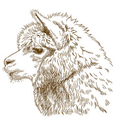 Engraving drawing of fluffy llama head vector