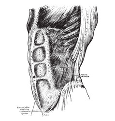 External oblique muscles vintage vector