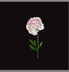 Hand drawn gently pink peony flower isolated on vector
