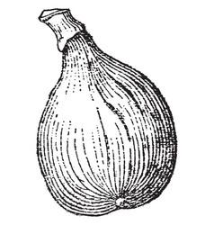 Fig vintage vector