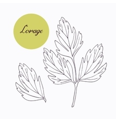 Hand drawn lovage branch with leaves isolated on vector