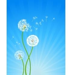 Dandelion flowers vector