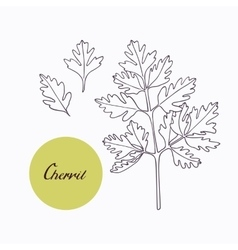 Hand drawn chervil branch with leaves isolated on vector