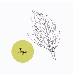 Hand drawn sage branch with leaves isolated on vector