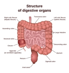 digestive tract image intestine vector image