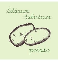 vintage hand drawn potato vector image