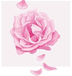 Delicate pink rose with falling petals vector image vector image