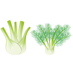 Fennel head and leaves vector