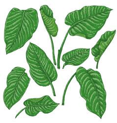 Green dieffenbachia leaves sketch vector