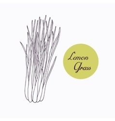 Hand drawn lemongrass branch with leaves isolated vector image vector image