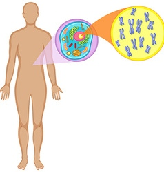 Human body and animal cell vector image vector image