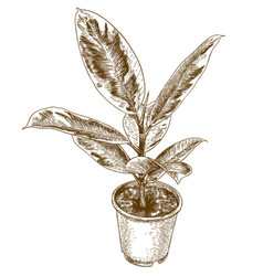 engraving drawing of ficus elastic vector image