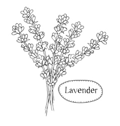 Hand drawn lavender Organic healing wild flowers vector image vector image