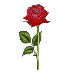 Hand drawn red rose flower isolated on white vector