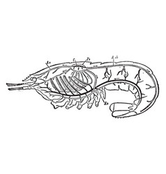 Circulatory and respiratory system of a crayfish vector
