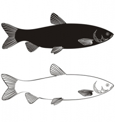 Fish grass carp vector