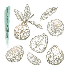 Sketch of bergamot elements set of citrus vector