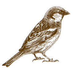 Engraving drawing of sparrow vector