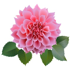 Pink chrysanthemum or dahlias flower with leaves vector